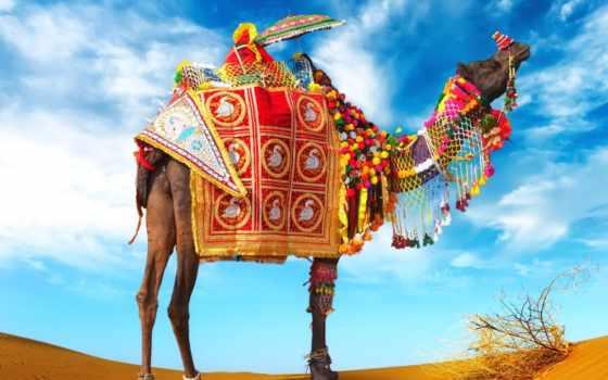 camel, фото, верблюдов, картинка, camelus, животных, зооклуб, caravan, верблюда, зооклубе, верблюды,
