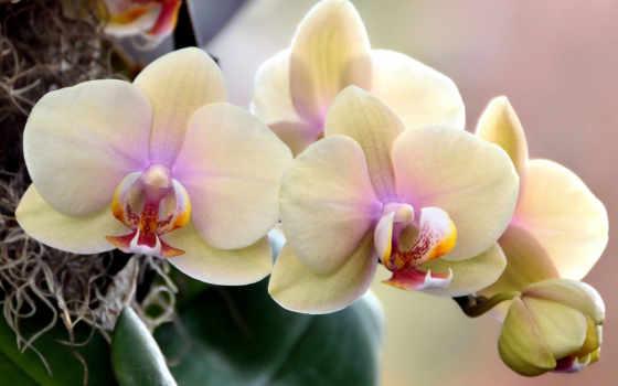 орхидеи, цветущие, цветов