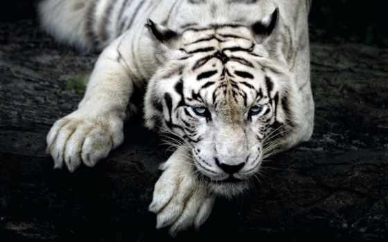тигр, white, шпалери, компьютер, кот, zoo, singapore, природа, colibri, oboi, большая,