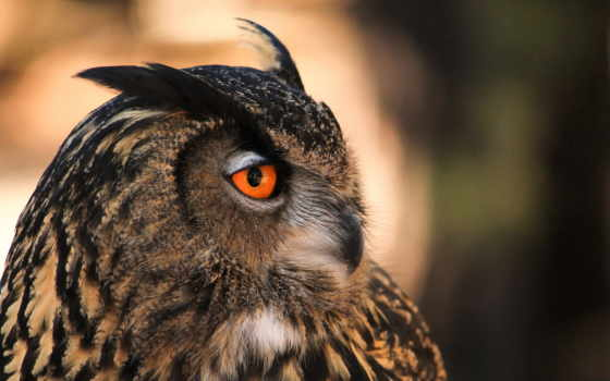 сова, profile, птица,