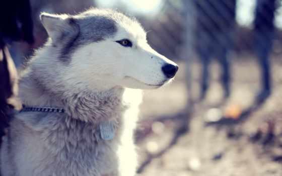 собака, морда, хаски, взгляд, собаки, свет, zhivotnye,