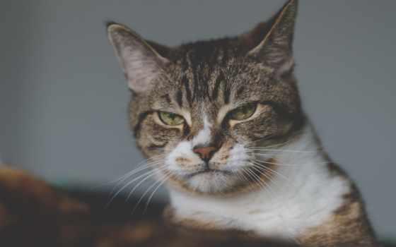 кот, disgruntled, бобтейл, portrait, desktop, американский,