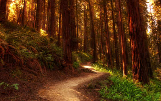 тропинка, лес, природа, коллекция, красивый, фон, pine, густой, high, divino