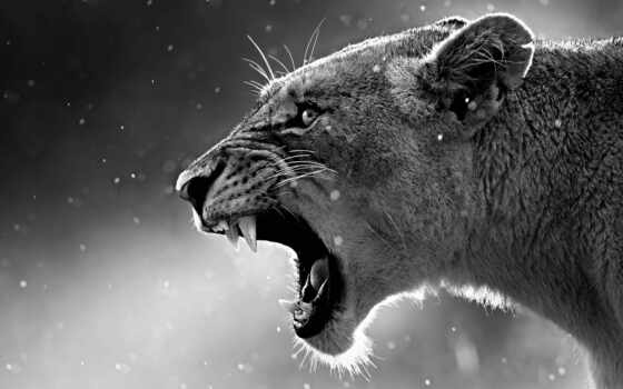 фотообои, lion, animal, black, white, кот, экран, замок, львица, left