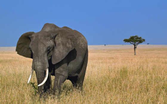 слон, африка