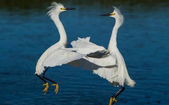 цапля, белая, dance, нравится, waltz, птицы,