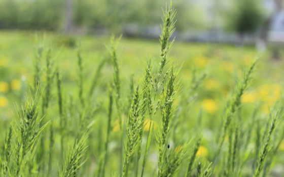 макро, трава, природа