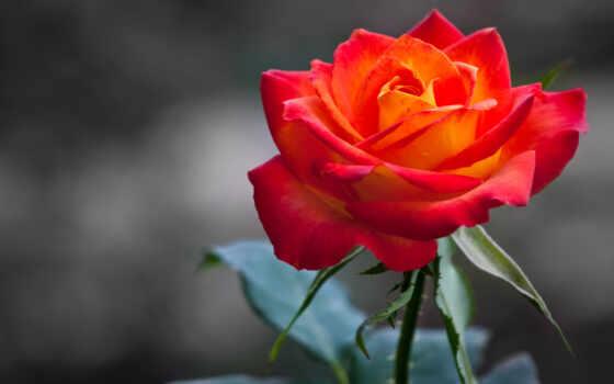роза, roses, flowers