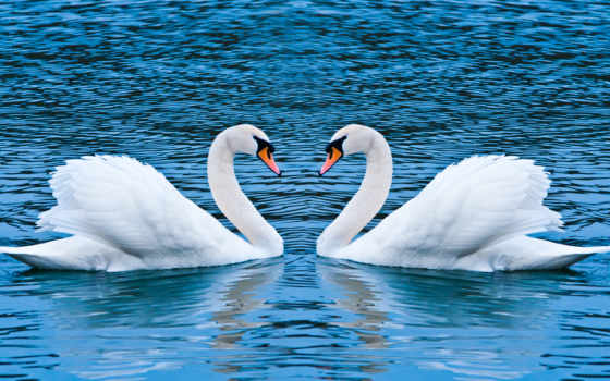 лебеди, pair, zhivotnye