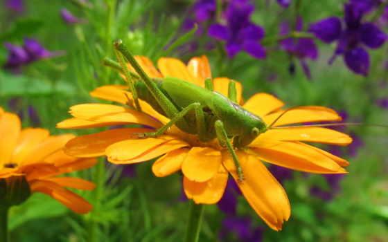 кузнечик, зелёный, кузнечики, животных, насекомые, мире, locust, картинка, длиннохвостый,