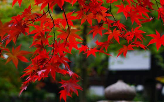 rouge, природа, érable, feuilles, листья, ветви, pinterest, jardin,