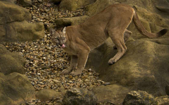 puma, wild, кот, animals, cougar, animal, гора,
