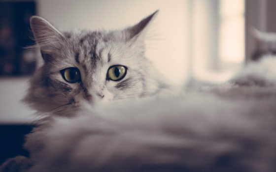 кошки, красивые, кот, серые, тона, котиков, серых, коты, широкоформатные,