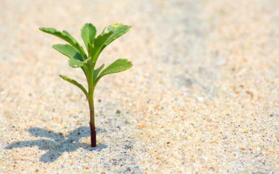 растение, песок, makryi, маленький, rastka, пляж, priroda, жизнь, самый, сквозь, probitsya