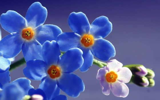 cvety, голубые, незабудки, синие, нежные, макро, полевые,