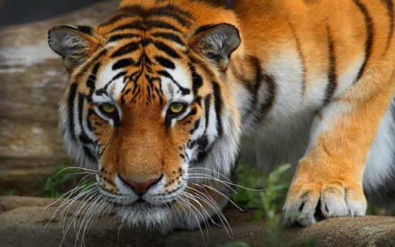 zoo, тигр, are, щит, animals, они, granby,