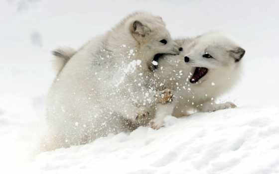arctic fox, песца, фокс, newsader, than, полярная, хуже, forecast, молодой, будет,