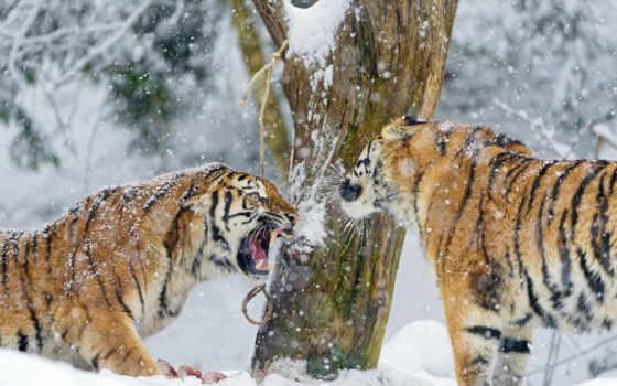 tigers, снег, desktop, агрессия, steam, бой, тигр,