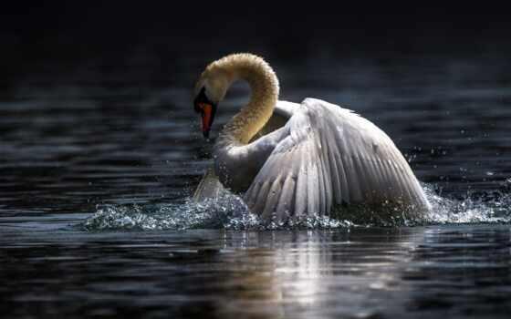 птица, красивый, narrow, лебедь