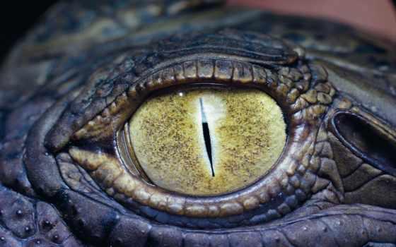 глаз, крокодил, крокодила