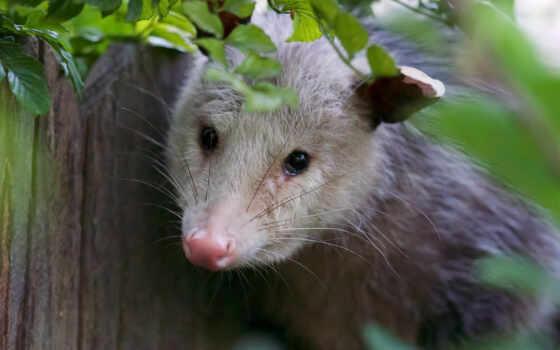 опоссум, possum, ноутбук, фон, взгляд, комментарий, rate, abyss
