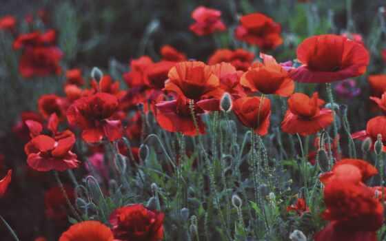 poppy, cvety, aesthetic, mobile