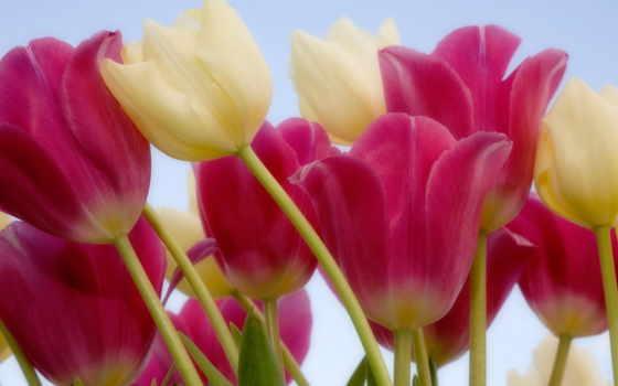 тюльпаны, цветы, стебель, розовые, белые,