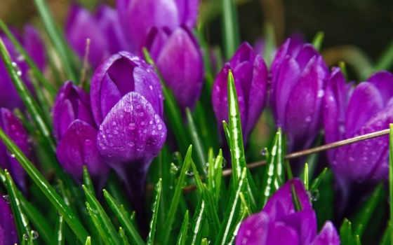 роса, flowers, крокусы, капли, цветы, природа, purple, spring, дождь, crocuses, тюльпаны, растения, зелень, листья, фиолетовый, стебли,