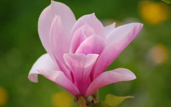цветы, магнолия