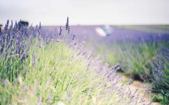 цветы, lavender, цвета