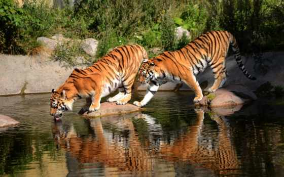 тигры, кошки, дикие, пара, амурские, белые, watering,