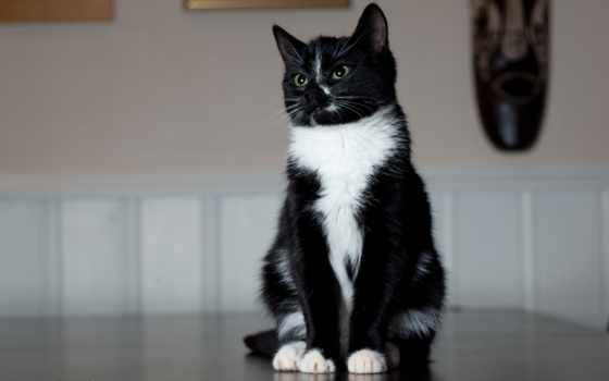 кот, чёрно, белая