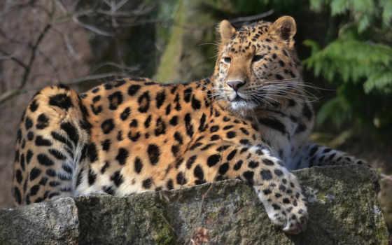 леопард, морда, смотреть, лапа, усы, пятнистый, картинка,