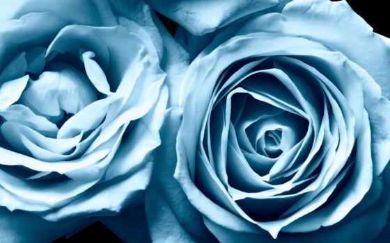 розы, цветы, высокого