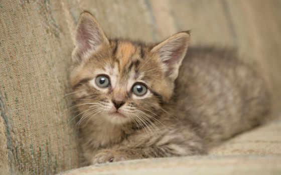котенок, диване, кот, кошки, серый, собаки, взгляд,