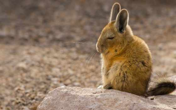 viscacha, гора, southern, анды, mountains, lagidium, грызун,