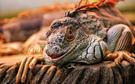 iguana, природа, черепаха
