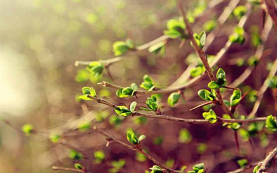 весна, ветки, макро