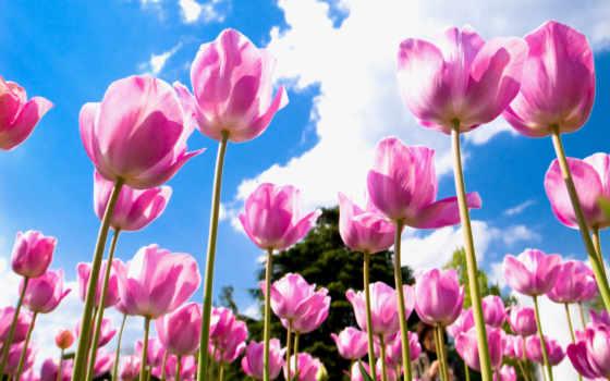 тюльпаны, розовые, поле