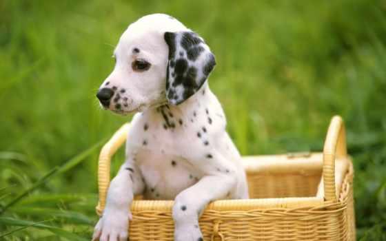 dalmatian, далматинцы, далматинца, щенок, за, щенки, трава, собаки, самые, янв,