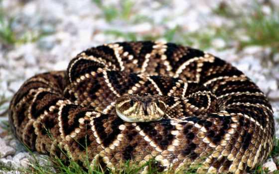 гремучая, змея, змеи