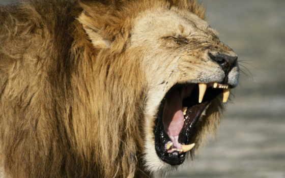 lion, злой, льва