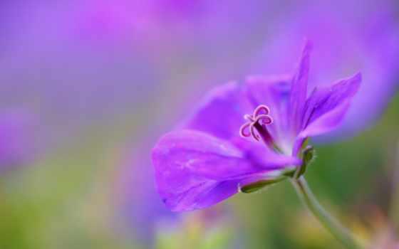 цветы, petals, герань, flowers, this, макро, desktop,