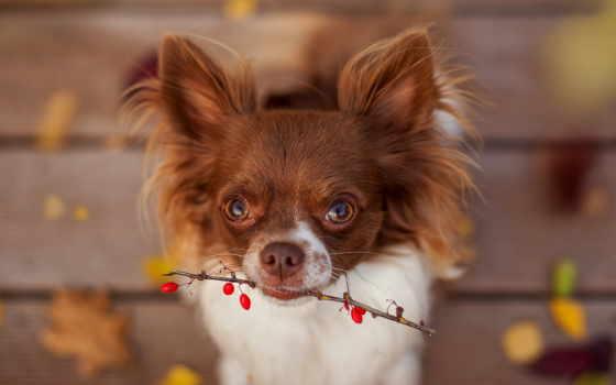чихуахуа, разное, торрент, коллекция, psy, собаки, doggy, осень, pies,