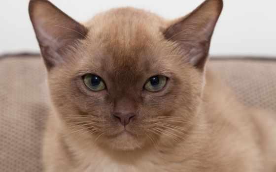 кот, burmese, котенок