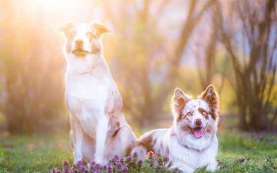 собака, aussie, овчарка, pet, хаски, australian, animal, cute
