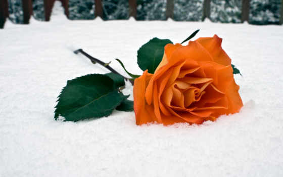 роза, снегу, красная