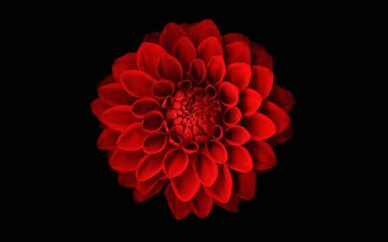 dahlia, red, цветы