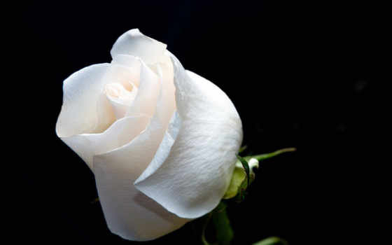 white, роза, roses