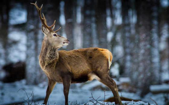 дикая, природа, лань, снег, лес, zhivotnye, олени,